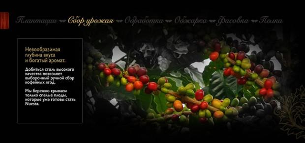 Кофе в зёрнах Nuesta - Сбор урожая
